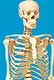 Full Sized (68 inch) Human Skeleton